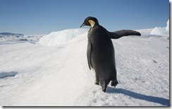 Emperor Penguin in Antarctica, Snow Hill Island, Antarctica