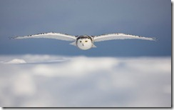 Snowy Owl in Flight Over Snow Covered Field