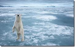 Polar Bear, Nordauslandet, Svalbard, Norway