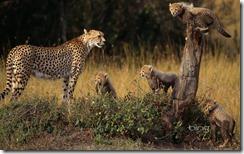 Cheetah and cubs in the Masai Mara National Reserve, Kenya