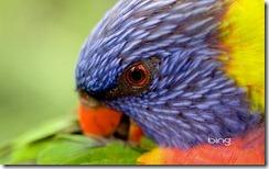 A Rainbow lorikeet preening its feathers