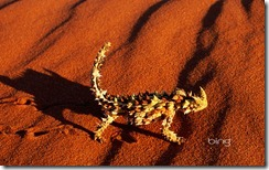 A thorny devil lizard walking on a red sand dune near Alice Springs, Australia