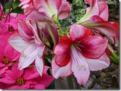 amaryllis and poinsettia