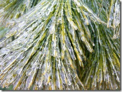 ice-coated pine needles i