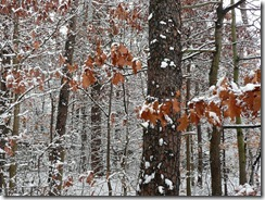 snow covered oak trees