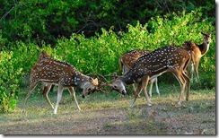 लड़ाई करते चीतल Sparring Chitals, Bandipur National Park, Bandipur, Chamarajanagar district of southern Karnataka,India