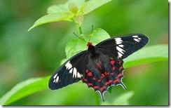 क्रिमसन रोज़ तितली  Crimson Rose Butterfly, Bannerghatta National Park, Karnataka, India