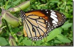 रस पीती हुई तितली Butterfly Drinking Nectar, Kerala, India