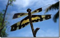 ड्रैगनफ़्लाई Dragonfly, Kerala, India