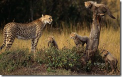Cheetah and cubs in the Masai Mara National Reserve, Kenya