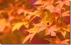 紅葉 (Japanese Maple)