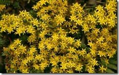 Little Yellow Flowers on NengGo Mountain - 能高山上的黃色小花