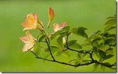 Azaleas in Washington State, USA