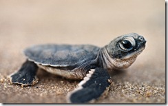 Green sea turtle hatchling in Surinam, South America