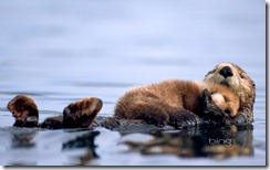 female sea otter floats with a newborn pup resting on her chest in Prince William Sound, Alaska