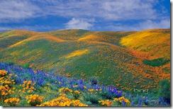 Spring wildflowers in Antelope Valley, California