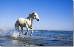 Camargue Horse Running on Beach
