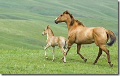 Mare and foal running across pasture in Alberta, Canada