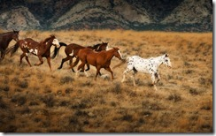 Wild horses in Wyoming