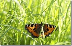 Tauriņš Zemgales pļavā (Butterfly in Zemgale meadow, Latvia)