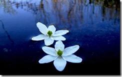 Ziedi ūdenī (Flowers in the water, Latvia)
