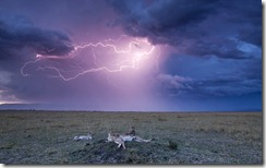 Masai Mara National Reserve, Kenya --- Lightning above Cheetah with adolescent cubs on termite mound