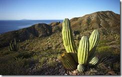 Cardon Cactus en el arroyo seco (Cardon cactus in dry arroyo)