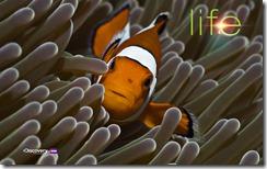 3-life-clownfish