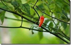 चरपरी तेज़ लाल मिर्च Red Hot Chili Pepper, Kerala, India