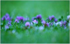 purpleflowerswindows7background