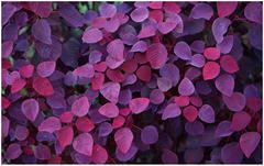 purpleleaveswindows7background