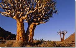 Quiver Trees, Richtersveld National Park