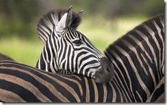 Plain's Zebra at Kruger National Park
