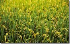 嘉南平原稻田 (The rice fields of the Jianan Plain)
