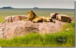 : Lions inSerengeti National Park, Tanzania