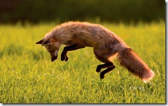 Red Fox hunting on Prince Edward Island, Canada
