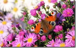 butterflyinpinkflowerswindowsbackground