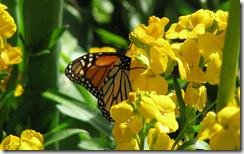 butterflyinyellowflowersdesktopbackground