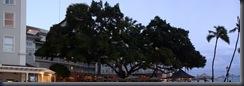 Moana Surfrider Banyan Tree