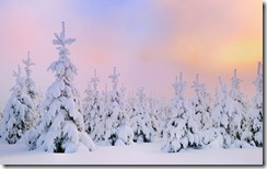 Snow covered fir trees at dawn, Mount Fichtelberg, Erzgebirge, Saxony, Germany