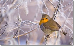 European robin amongst frost-covered branches