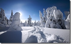 Trees covered with snow, Lapland, Finland