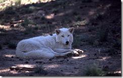 Gray wolf in wildlife sanctuary