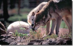 Gray wolves in wildlife sanctuary
