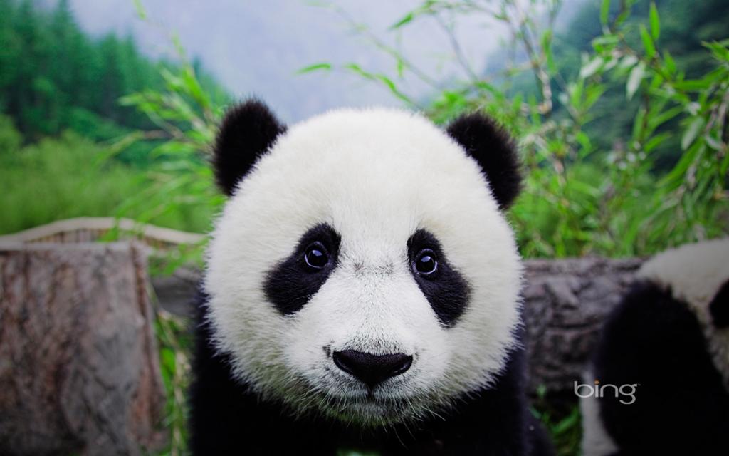 Panda Desktop Wallpaper Backgrounds Windowsobservercom