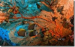 Collare butterflyfish and soft coral in Surin Islands Marine National Park, Thailand