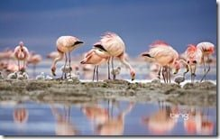 James' flamingos on islet in Laguna Colorada, Bolivia
