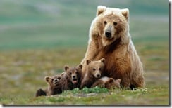 Grizzly bear sow with four cubs near Moraine Creek, Katmai National Park, Alaska