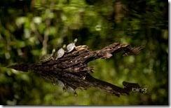 Three little turtles at Duke Gardens, Durham, NC