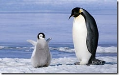 Young emperor penguin (Aptenoytes forsteri) chick and adult, Snow Hill Island, Weddell Sea, Antarctica